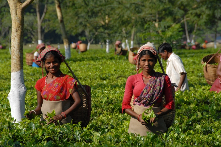 Tea Garden Pickers